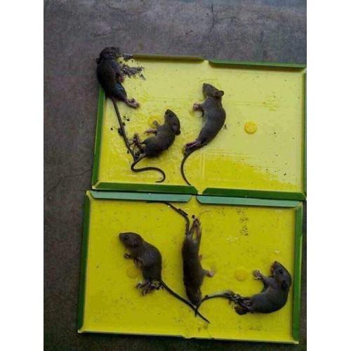 Bẫy dính chuột siêu dính
