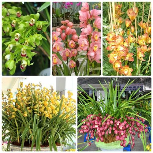 Bộ 5  củ giống hoa địa lan santo 5 màu - 9022665 , 18683779 , 15_18683779 , 175000 , Bo-5-cu-giong-hoa-dia-lan-santo-5-mau-15_18683779 , sendo.vn , Bộ 5  củ giống hoa địa lan santo 5 màu
