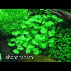 Hạt giống thuỷ sinh cỏ may mắn, cỏ ba lá thực vật bể cá