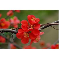 Hạt giống hoa mai trung quốc hoa màu đỏ - kem 3 viên nén ươm hạt