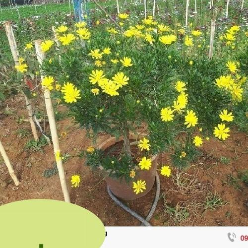 Bộ 5 gói hạt giống hoa cúc thân gỗ - 5009066 , 18710421 , 15_18710421 , 110000 , Bo-5-goi-hat-giong-hoa-cuc-than-go-15_18710421 , sendo.vn , Bộ 5 gói hạt giống hoa cúc thân gỗ
