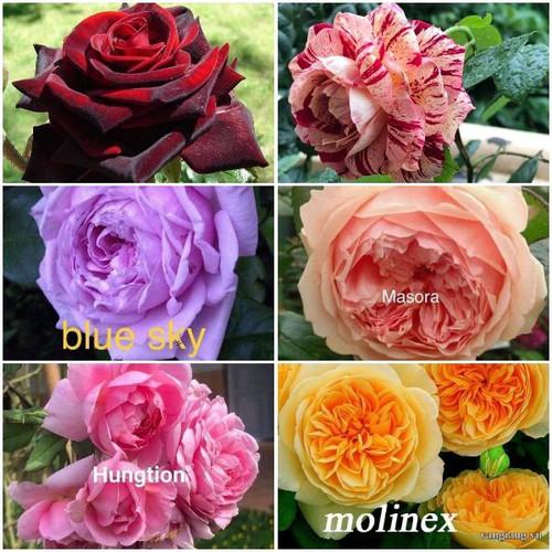 COMBO 6 màu hoa hồng rễ trần y hình