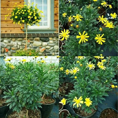 Hạt giống hoa cúc thân gỗ - 4825294 , 18713495 , 15_18713495 , 22000 , Hat-giong-hoa-cuc-than-go-15_18713495 , sendo.vn , Hạt giống hoa cúc thân gỗ