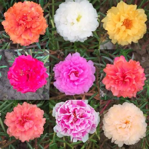 Cành Hoa Mười Giờ Thái - 10 màu riêng - 9054730 , 18730223 , 15_18730223 , 100000 , Canh-Hoa-Muoi-Gio-Thai-10-mau-rieng-15_18730223 , sendo.vn , Cành Hoa Mười Giờ Thái - 10 màu riêng