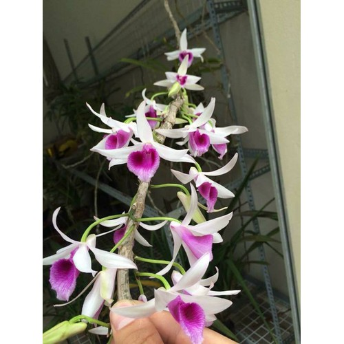 Phi điệp daklay cây giống đẹp thân nù - 9074708 , 18757936 , 15_18757936 , 80000 , Phi-diep-daklay-cay-giong-dep-than-nu-15_18757936 , sendo.vn , Phi điệp daklay cây giống đẹp thân nù