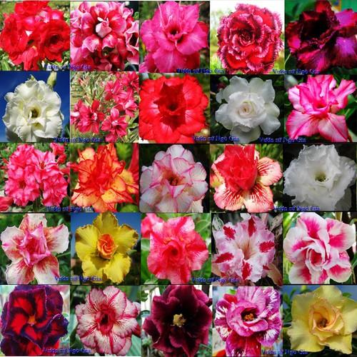 25 Hạt giống Hoa Sứ Thái quý hiếm hỗn hợp 25 loại hoa - 8464692 , 17855390 , 15_17855390 , 140000 , 25-Hat-giong-Hoa-Su-Thai-quy-hiem-hon-hop-25-loai-hoa-15_17855390 , sendo.vn , 25 Hạt giống Hoa Sứ Thái quý hiếm hỗn hợp 25 loại hoa