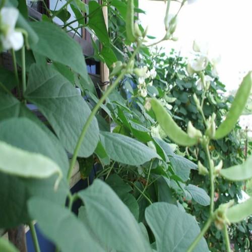 15 hạt  giống đậu ván xanh - 10631167 , 18889980 , 15_18889980 , 15000 , 15-hat-giong-dau-van-xanh-15_18889980 , sendo.vn , 15 hạt  giống đậu ván xanh