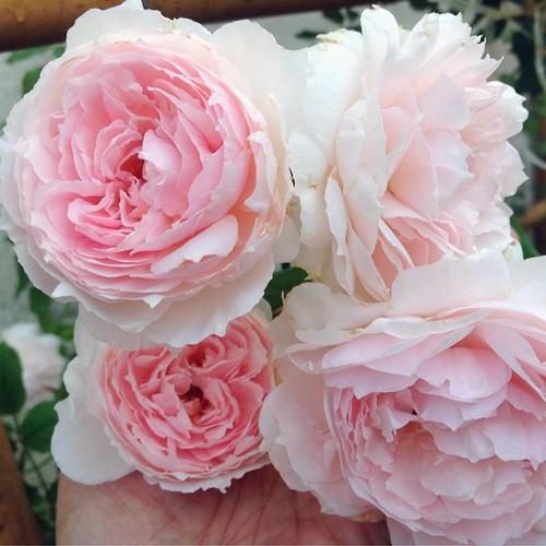 [Khuyến Mại] Combo 5 cây Hoa Hồng Ngoại The Wedgwood Rose - Tặng Phân Bón + Kích Mầm
