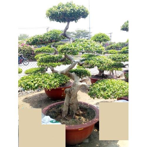 Sanh Bonsai B4