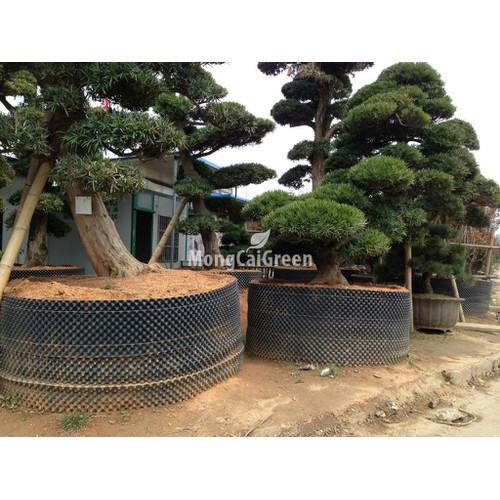 Tấm cót nhựa PVC làm bầu trồng cây - Cao 0,9 mét x dài 50m- Tấm nhựa PVC quấn bầu dưỡng cây
