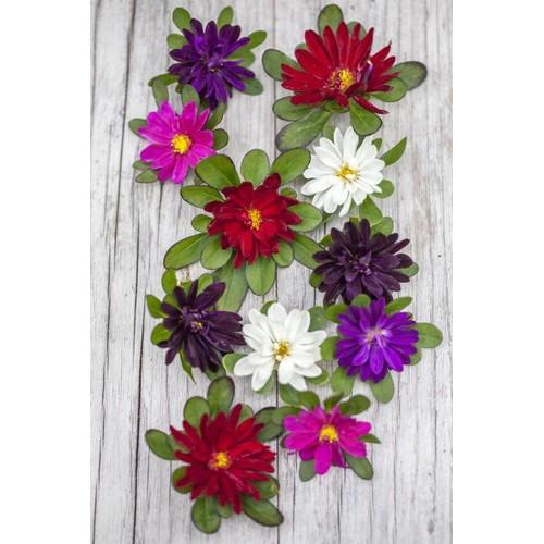 Gói 20 hạt giống hoa cúc Nhật Serenade Mix nhiều màu