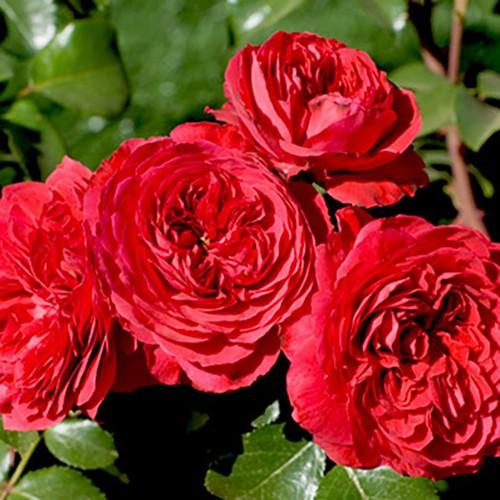 [Khuyến Mại] Combo 5 cây Hoa Hồng Ngoại Monalisa Rose - Tặng Phân Bón + Kích Mầm