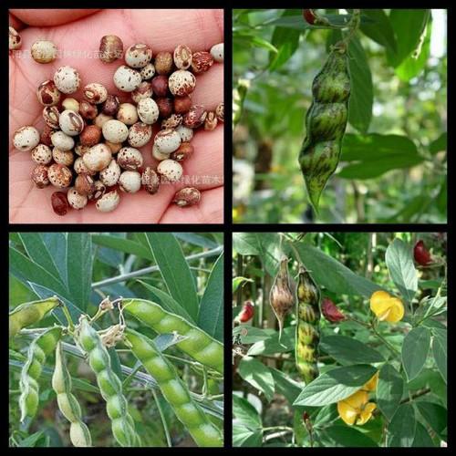 G89- Gói hạt giống 10 hạt đậu thân gỗ