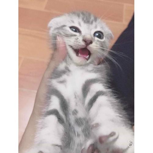 mèo ALD màu tabby đực 2 tháng tuổi - 4764683 , 17930480 , 15_17930480 , 4000000 , meo-ALD-mau-tabby-duc-2-thang-tuoi-15_17930480 , sendo.vn , mèo ALD màu tabby đực 2 tháng tuổi