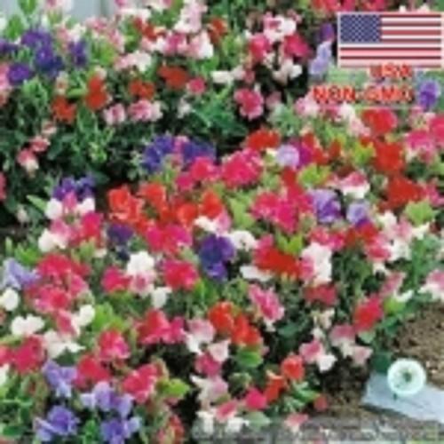 10h-Hạt Giống Hoa Đậu Thơm Lùn - Knee 60cm Nhiều Màu Lathyrus odoratus