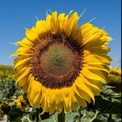 Hạt giống hoa hướng dương  khổng lồ