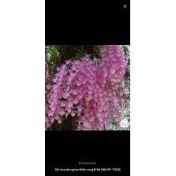 combo 5 cốc hoa phong lan - thiên cung lữ bố