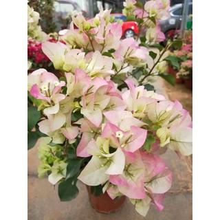 Cây Hoa giấy nhiều màu bầu đất - HG1 thumbnail
