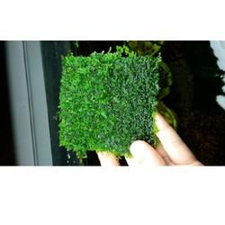 Rêu mini Taiwan - vỉ 8cm x 8cm Rêu cột lũa và đá rất đẹp