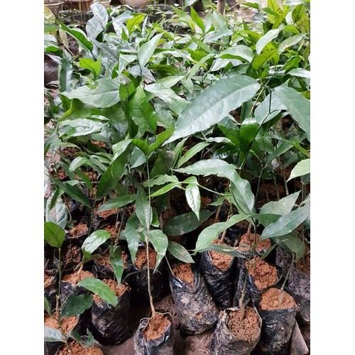 Combo 5 cây giống rau sắng ăn ngon bổ dưỡng - 12222565 , 19966110 , 15_19966110 , 249000 , Combo-5-cay-giong-rau-sang-an-ngon-bo-duong-15_19966110 , sendo.vn , Combo 5 cây giống rau sắng ăn ngon bổ dưỡng