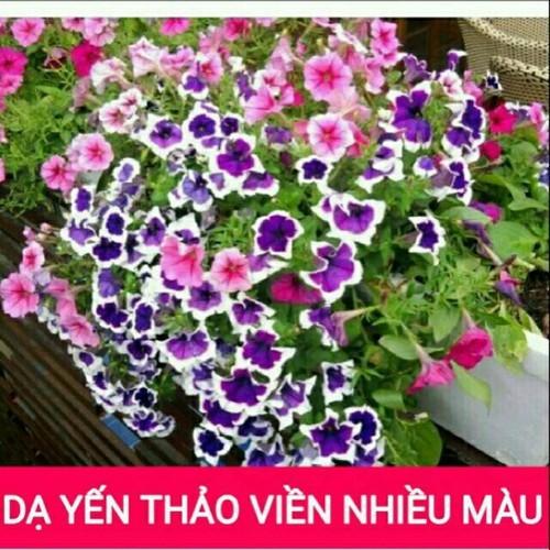 Hạt giống hoa Dạ Yến Thảo Viền mix nhiều màu LUCKY SEEDS