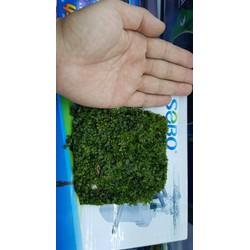 12cm vuông Rêu Pelia lá cạn cho ae chơi bán cạn và thủy sinh