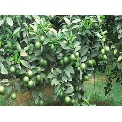 Cây chanh bốn mùa siêu trái