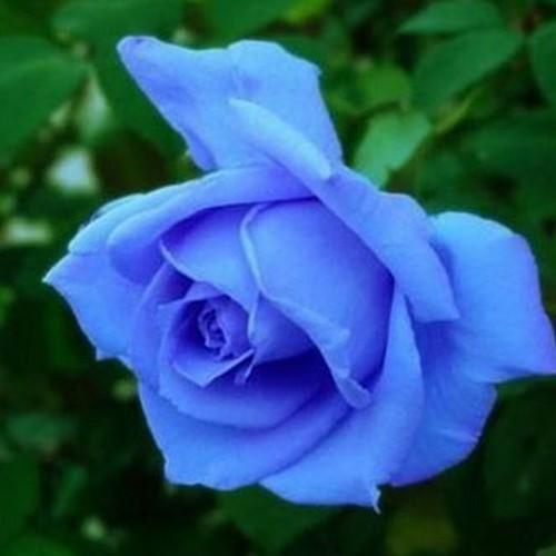 Hạt giống hoa hồng xanh - Gói 15 Hạt