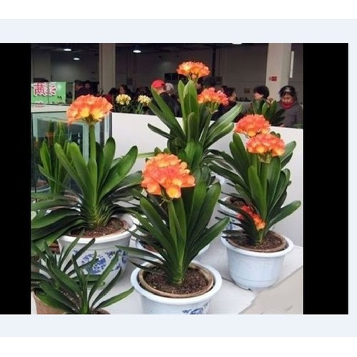 Cây hoa lan quâng tử cây lớn _ bán cây trần chưa hoa như hình số 2 hinh đại diện là mẫu màu của hoa