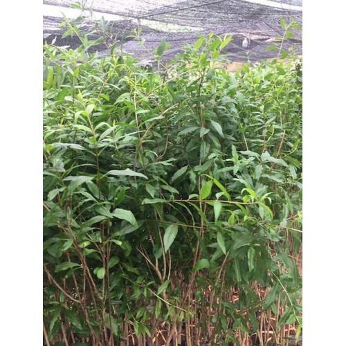 Cây giống lựu đỏ lùn ấn độ - 12518086 , 20323874 , 15_20323874 , 180000 , Cay-giong-luu-do-lun-an-do-15_20323874 , sendo.vn , Cây giống lựu đỏ lùn ấn độ