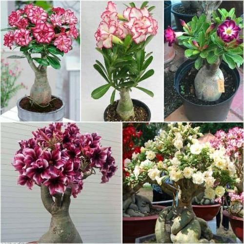 5 hạt giống hoa sứ thái - 12060572 , 19685996 , 15_19685996 , 99000 , 5-hat-giong-hoa-su-thai-15_19685996 , sendo.vn , 5 hạt giống hoa sứ thái