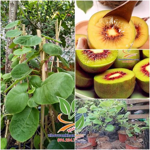 cây giống kiwi - 11851160 , 20658976 , 15_20658976 , 180000 , cay-giong-kiwi-15_20658976 , sendo.vn , cây giống kiwi