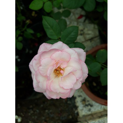 Chậu hoa hồng nguyên bản strawberry macaron