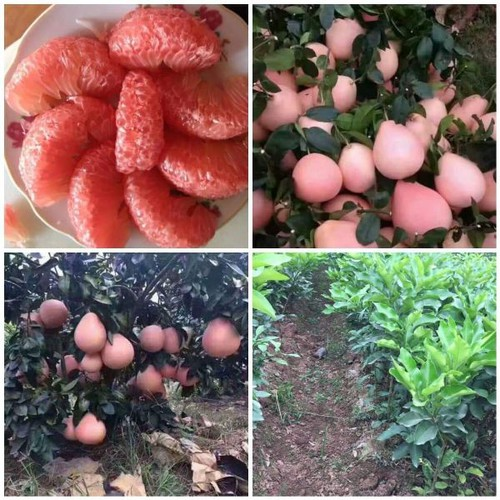Cây giống bưởi đỏ phúc kiến - 12712485 , 20681064 , 15_20681064 , 150000 , Cay-giong-buoi-do-phuc-kien-15_20681064 , sendo.vn , Cây giống bưởi đỏ phúc kiến