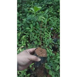 combo 10 cây giống hoa Nhài Nhật ( gửi cây như hình 6) - 017P thumbnail