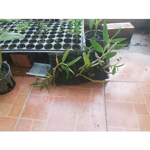 Cây lan trầm tím rừng trồng trên bảng dớn