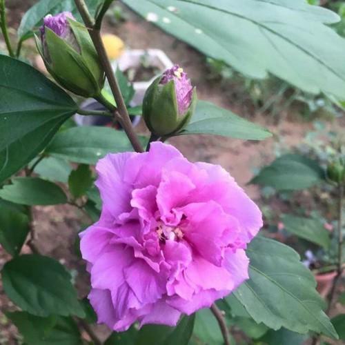 Chậu cây giống râm bụt tím kép sắp hoa - 12889758 , 20845536 , 15_20845536 , 80000 , Chau-cay-giong-ram-but-tim-kep-sap-hoa-15_20845536 , sendo.vn , Chậu cây giống râm bụt tím kép sắp hoa
