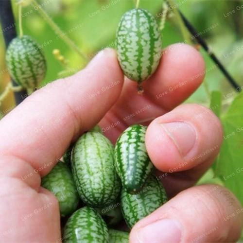 Hạt giống dưa hấu mini  giá rẻ