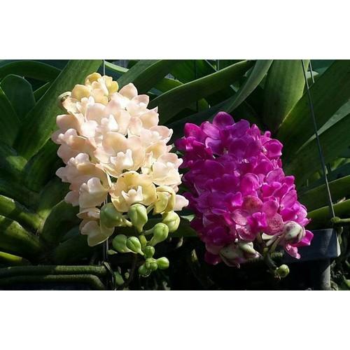 5 cây giống hoa lan - 12877152 , 20828915 , 15_20828915 , 250000 , 5-cay-giong-hoa-lan-15_20828915 , sendo.vn , 5 cây giống hoa lan