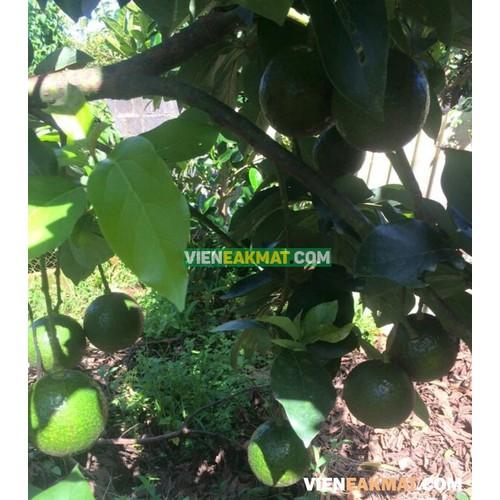 Cây giống bơ booth trái mùa năng suất cao - 17083279 , 20856990 , 15_20856990 , 150000 , Cay-giong-bo-booth-trai-mua-nang-suat-cao-15_20856990 , sendo.vn , Cây giống bơ booth trái mùa năng suất cao