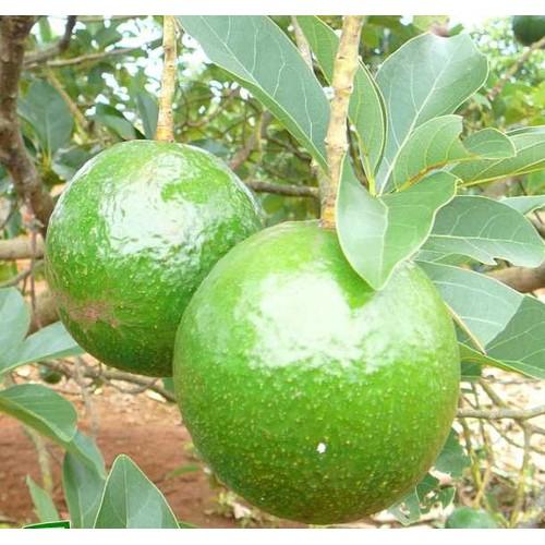 Cây giống bơ booth trái mùa năng suất cao - 17083271 , 20856981 , 15_20856981 , 150000 , Cay-giong-bo-booth-trai-mua-nang-suat-cao-15_20856981 , sendo.vn , Cây giống bơ booth trái mùa năng suất cao