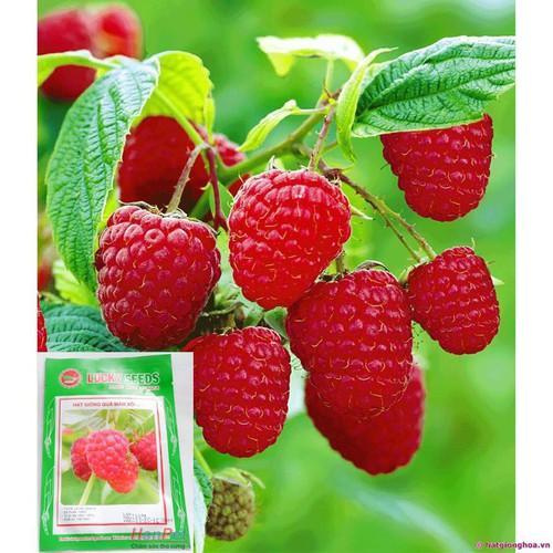 Gò vấp hoa trong nhà hạt giống hạt giống quả mâm xôi loại quả đỏ tươi phúc bồn tử đỏ combo 30 hạt phù hợp - 17417880 , 20883379 , 15_20883379 , 19000 , Go-vap-hoa-trong-nha-hat-giong-hat-giong-qua-mam-xoi-loai-qua-do-tuoi-phuc-bon-tu-do-combo-30-hat-phu-hop-15_20883379 , sendo.vn , Gò vấp hoa trong nhà hạt giống hạt giống quả mâm xôi loại quả đỏ tươi phúc