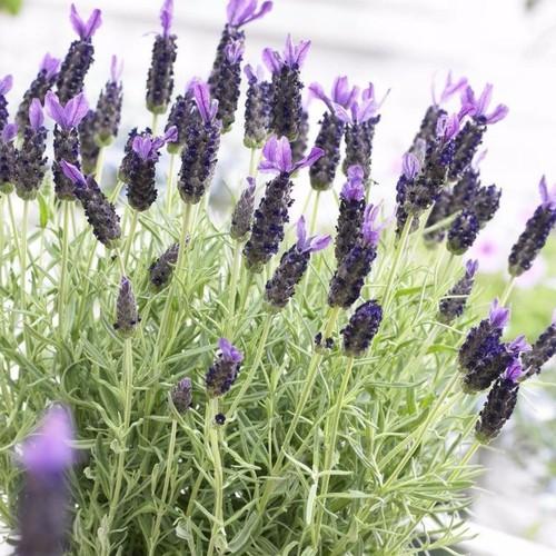 Combo 3 gói hạt giống hoa lavender