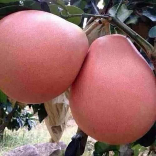 Cây giống bưởi đỏ phúc kiến - 17413448 , 20875803 , 15_20875803 , 160000 , Cay-giong-buoi-do-phuc-kien-15_20875803 , sendo.vn , Cây giống bưởi đỏ phúc kiến