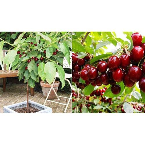 Cây giống cherry mỹ - 12610464 , 20451395 , 15_20451395 , 220000 , Cay-giong-cherry-my-15_20451395 , sendo.vn , Cây giống cherry mỹ