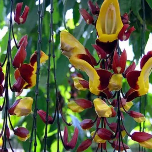 Cây hoa Móng cọp vàng cho không gian nổi bật - MC002
