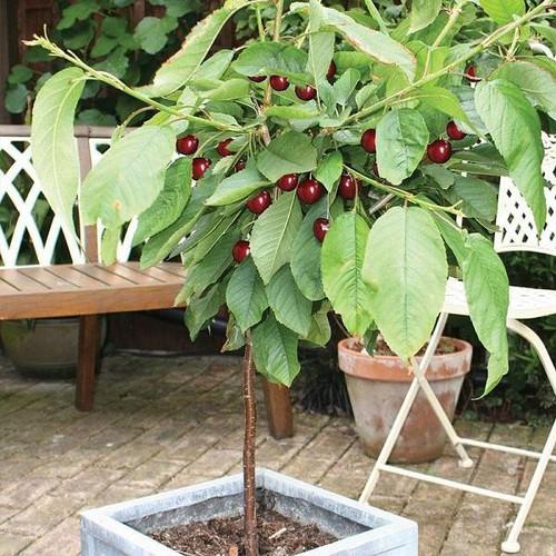 Cây giống cherry mỹ - 12610571 , 20451526 , 15_20451526 , 179000 , Cay-giong-cherry-my-15_20451526 , sendo.vn , Cây giống cherry mỹ
