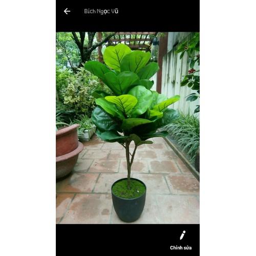 cây giả - cây bàng giả singapore