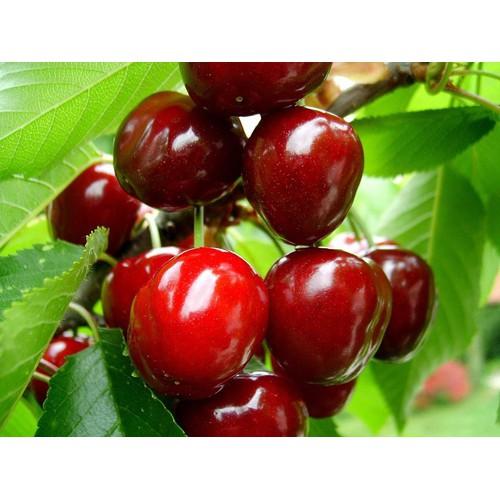 Cây giống cherry mỹ - 12610376 , 20451288 , 15_20451288 , 220000 , Cay-giong-cherry-my-15_20451288 , sendo.vn , Cây giống cherry mỹ