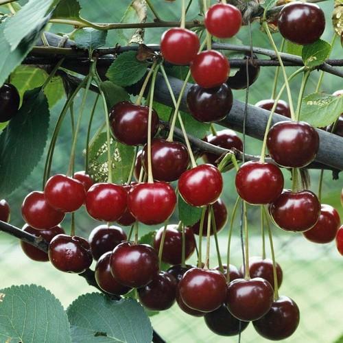 Cây giống cherry mỹ - 12611124 , 20452379 , 15_20452379 , 179000 , Cay-giong-cherry-my-15_20452379 , sendo.vn , Cây giống cherry mỹ